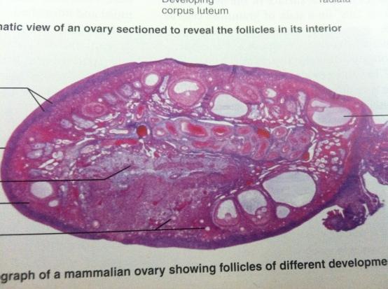 Ovary3