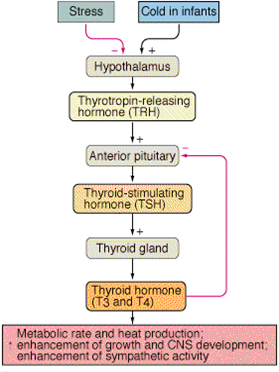 Thyroid Hormone Neg. Feedback Mechanism