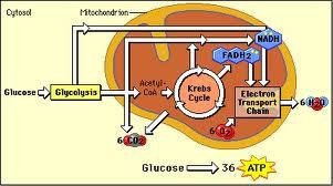 Aerobic Respiration Processes