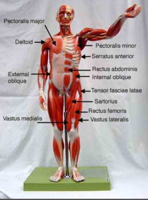 labeled muscular system models | my anatomy mentor, Muscles