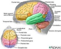 Functional Areas of the Brain