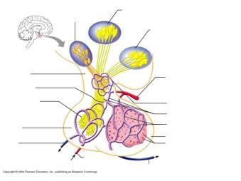 Hypothalamic/Hypophyseal control Image