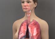 3d_Model_female_respiratory_system_thumb