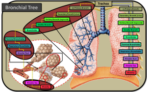 "THIS BRONCHIAL TREE IMAGE CREATOR =  Jacob ""Doc"" Johnson"