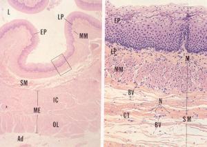 Esophagus Histo