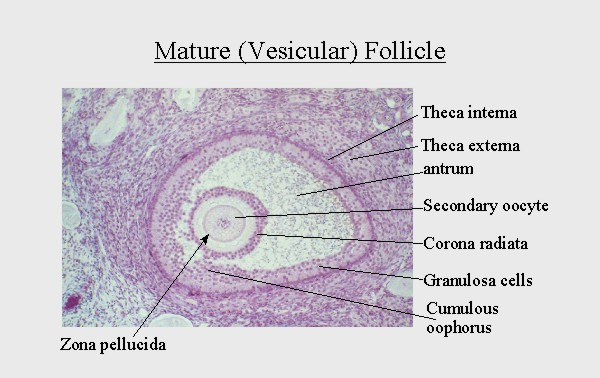 mature_follicle