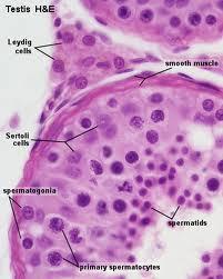 seminiferous tubule