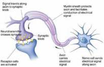 Labeled Synapse
