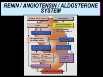 Renin/ Angiotensin/ Aldosterone Mechanism