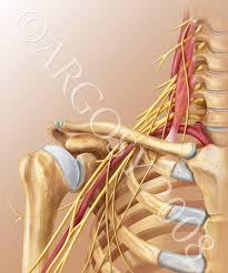 brachial plexus2