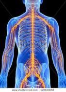 3D Spinal Nerves