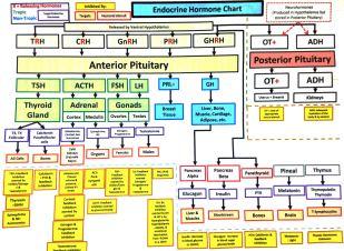 S14 Endocrine Chart
