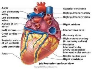 Human Heart Post. view