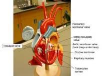 Labeled Human Heart Model 1