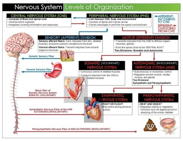 ch11_p1_place-new-as-the-1st-image-under-the-functional-divisions-of-the-nervous-system-heading-at-the-top-of-the-page_organization-of-nervous-system