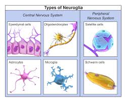 Glial Cell Images