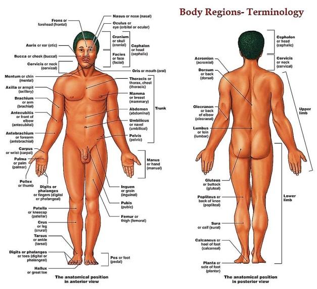 FALL 2016 Body Regions