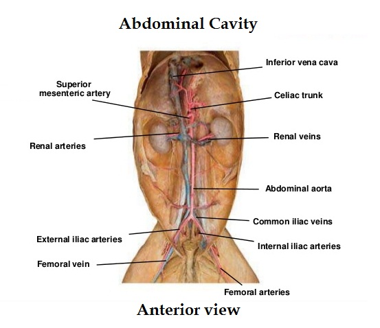 cat-dissection 3-arteries and veins_anterior abdominal cavity_