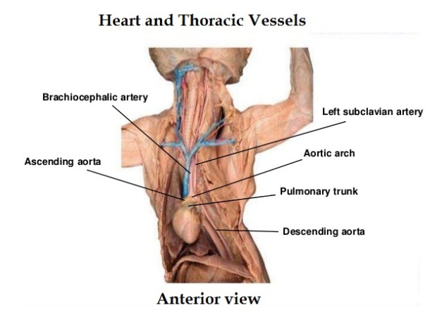cat-dissection 5-heart and thoracic arteries and veins_anterior