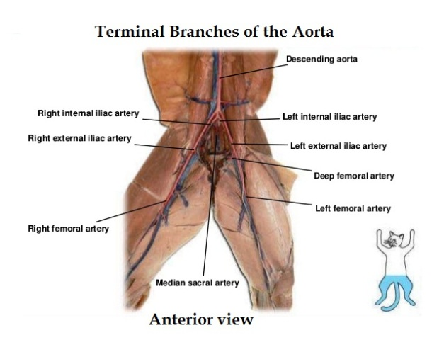 cat-dissection 8-terminal branches of the aorta_anterior