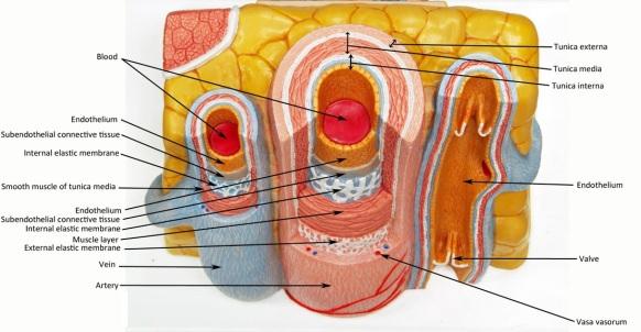 Vascular Tunics